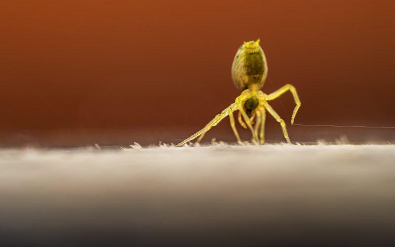 Flamenco Spider